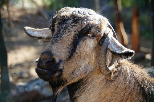 goat horns head