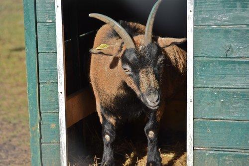goat  cabin  horns