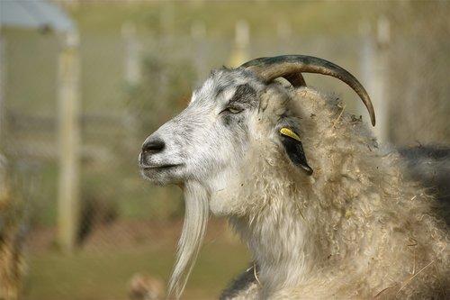 goat  horns  cornu