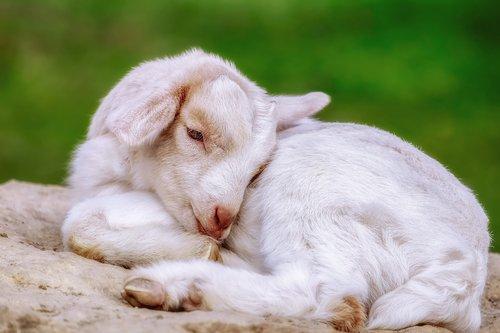 goat  kitz  animal