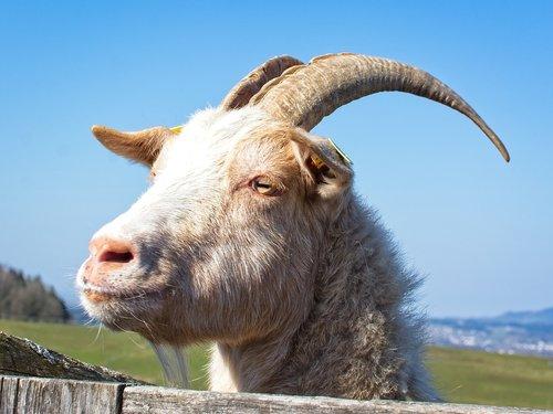 goat  bock  billy goat