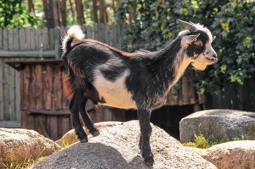 goat  horns  stones