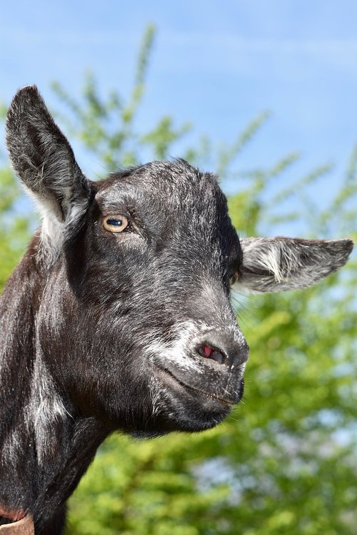 goat  goat color black  ruminant