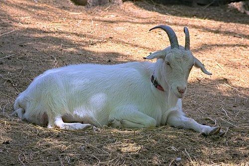 goat  pets  herbivore