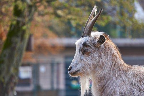 goat  goats  zoo