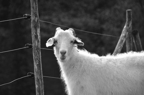 goat  cornu  herbivore