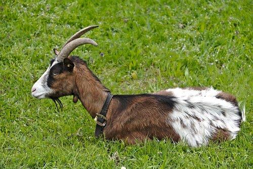 goat  meadow  rest