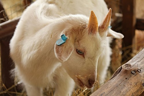goat  kid  cub