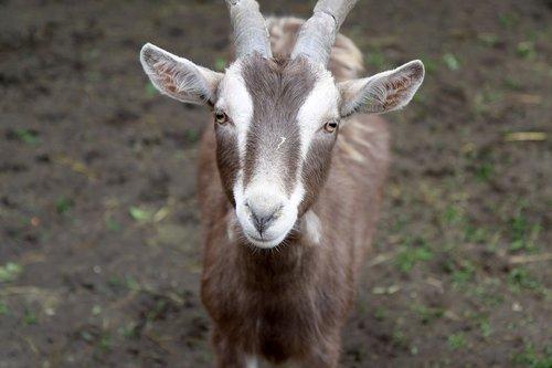 goat  animal farm  farm