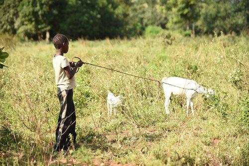 goat  boy  herding