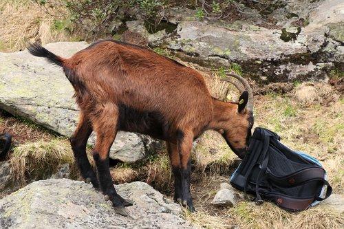 goat  animals  mountain goat
