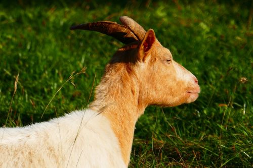 goat animal domestic goat