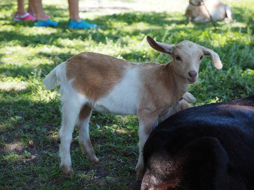 goat mammals cub