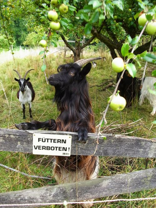 goat animal apple