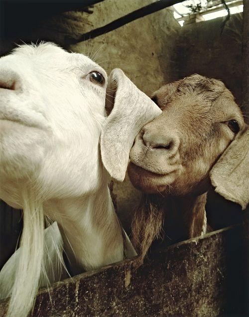 goat animal sheep