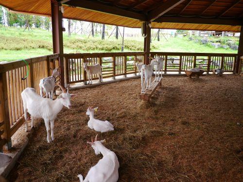 goat animal baby goats