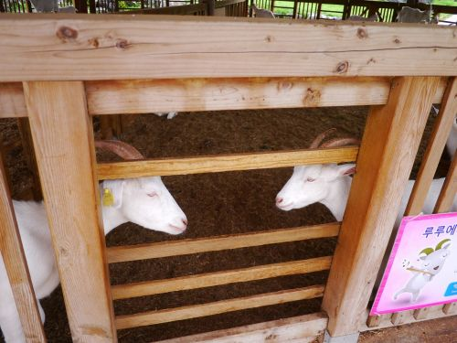 goat animal mirror margins