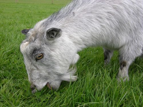 goat animal herbivore