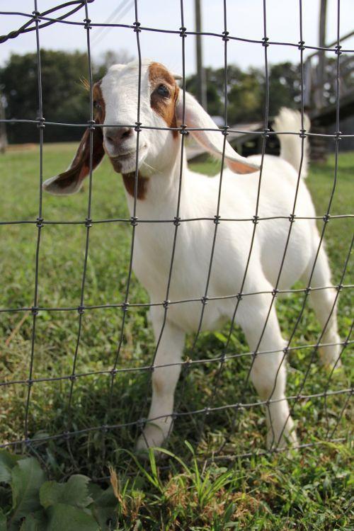 goat petting zoo farm