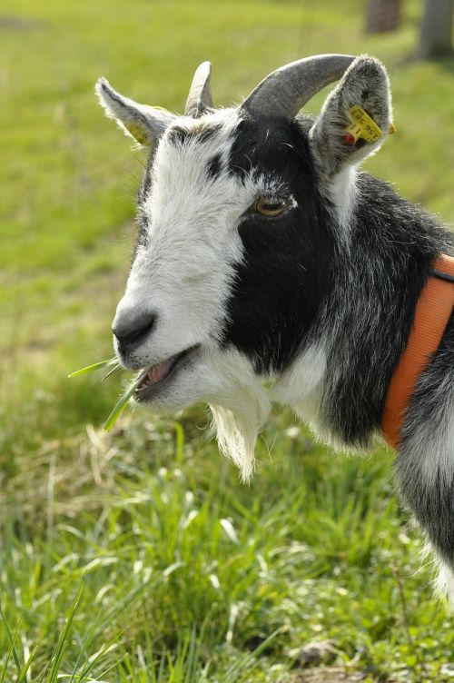 goat,animal,farm,horns,nature,mammals,animal world,domestic goat,face,billy goat,creature,white,black,fur,wildlife photography,zoo,pet,horned,black and white,head,goatee,livestock,bock,curious,capra aegagrus hircus,bart,ruminant,free photos,free images,royalty free