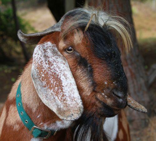 goat billygoat fa