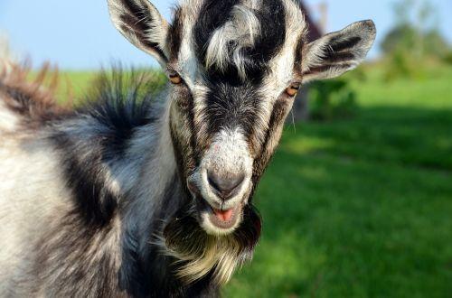 goat staring animal
