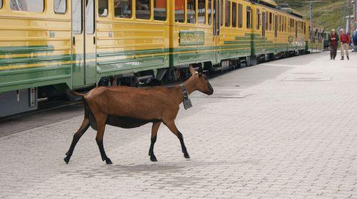 goat rack railway jungfrau railway