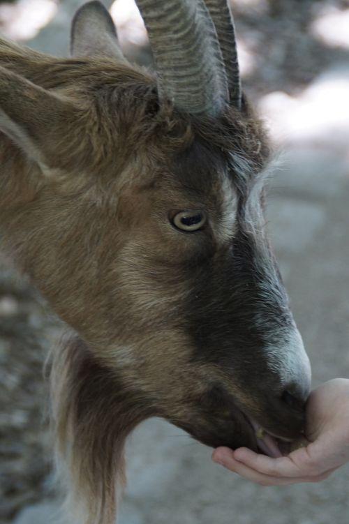 goat billy goat fence
