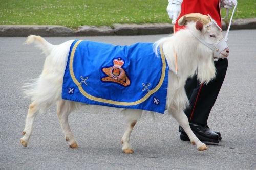 ožka,talismanas,Kanada,kariuomenė,mielas,antklodė,pulko simbolis,gamta,lauke,vadovavo