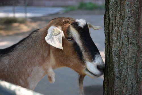 goat pittsburgh zoo shy
