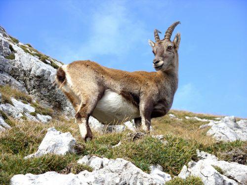 goat mountain mountain goat