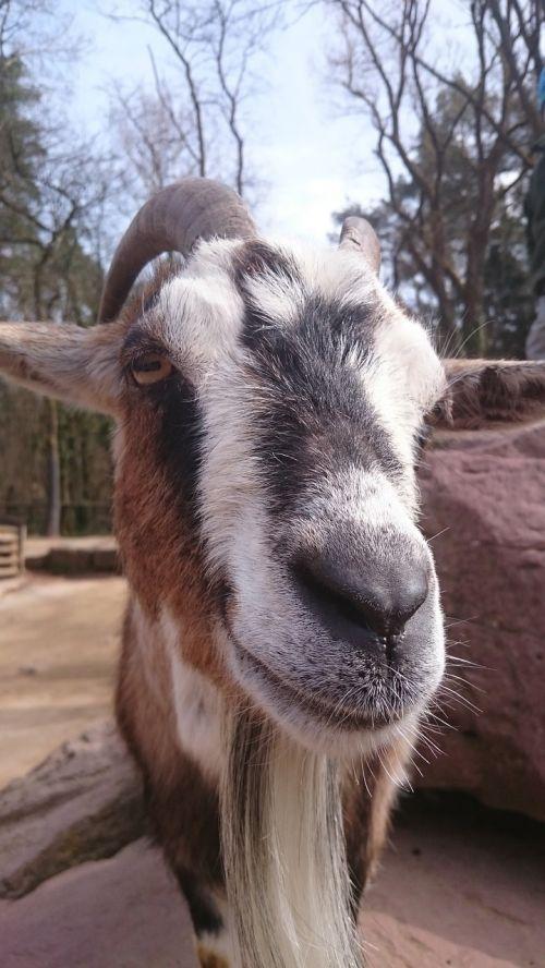 goat bart zoo