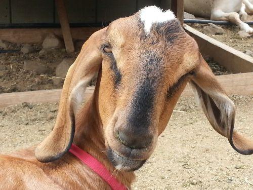 goat long ears surprised