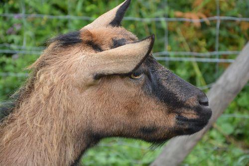 goat alpine profile head