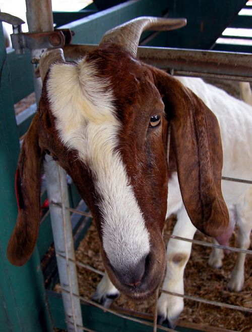 Goat At Petting Zoo