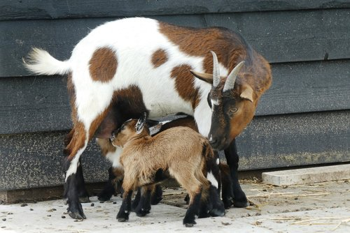 goat with kids  feed  kids