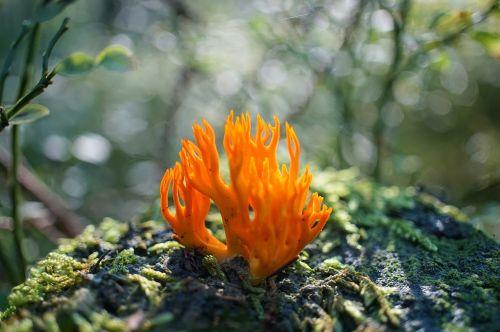 goatee mushroom coral-like