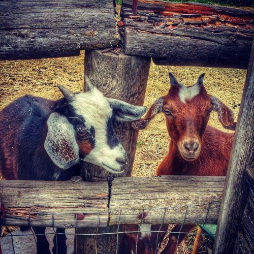 goats hood river oregon fruit loop