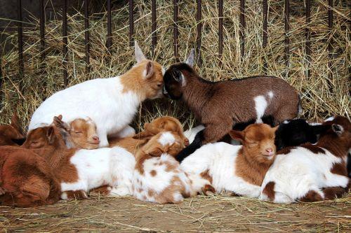 goats animals goat baby