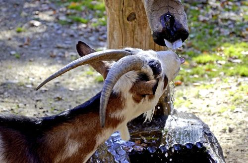 goats livestock farm