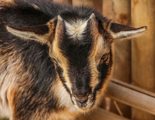 goats lambs baby