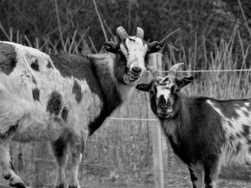 goats goat buck billy goat