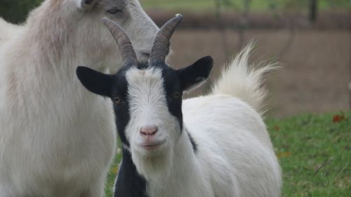 goats farm countryside