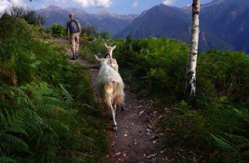 goats mountain path way home