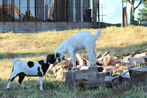 goats farm barn