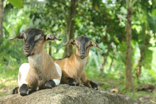 goats animal mammal