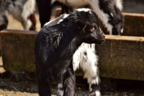 goats young animals playful