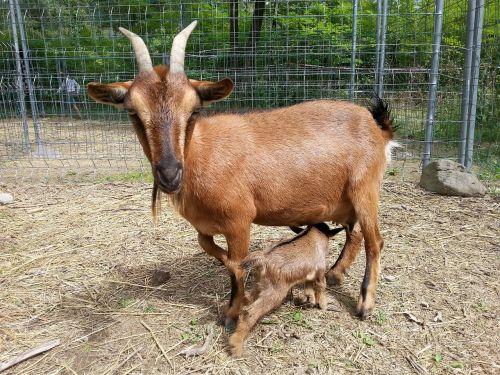 goats baby animals