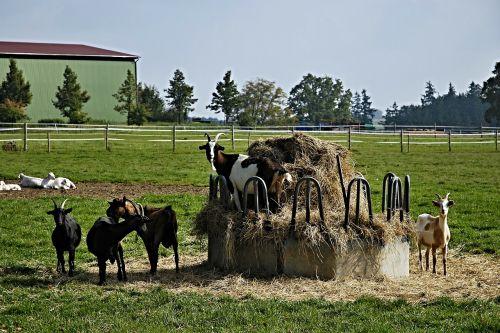 goats hay krmelec