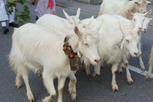 goats  alp output  customs
